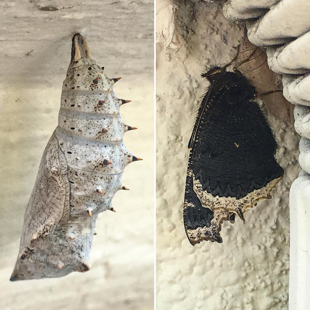 when-hundreds-of-butterflies-hatch-on-your-work-building-you-damn-well-take-a-break-to-go-gawk---hunnits-caterpillar-chrysalis-black-white-nature-spiky-amazing-didyouknow--caterpillars-bodies-completely-melt-inside-the-chrysalis-yet-thei_26623628.jpg