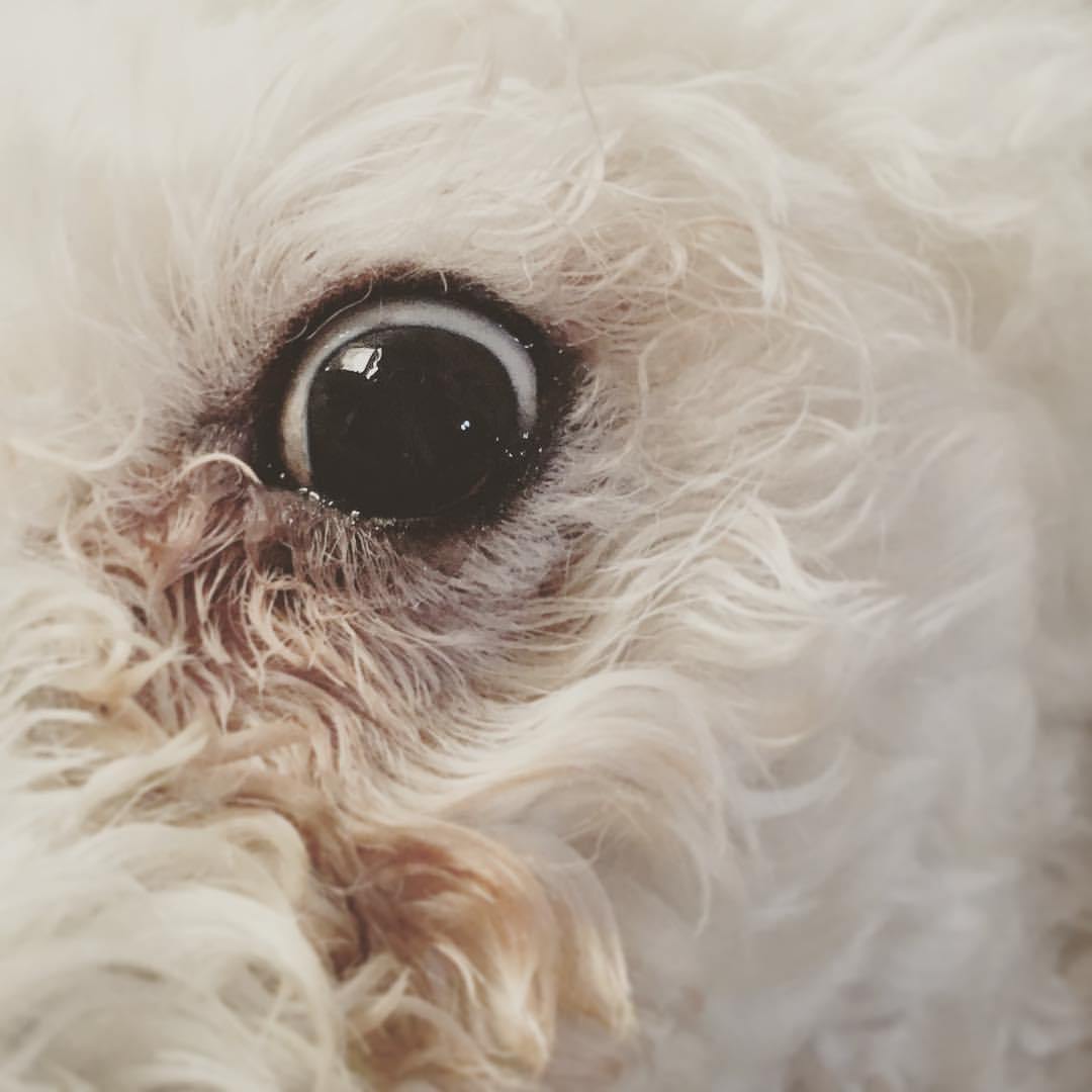 the-allseeingeye--125366---i-couldnt-do-a-post-about-one-of-my-dogsofinstagram-without-one-of-the-other-this-portrait-wholeheartedly-captures-the-essence-of-mischa-which-is-essentially-creeps-mcgee--maltipoo-poodle_26872412454_o.jpg