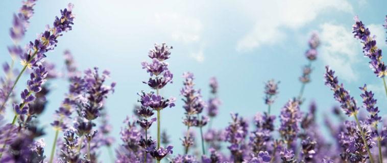 CO_Co_Lavender.jpg