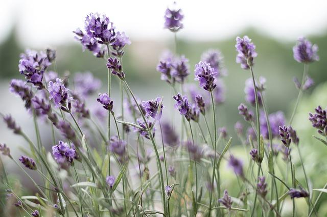 lavender-399273_640.jpg