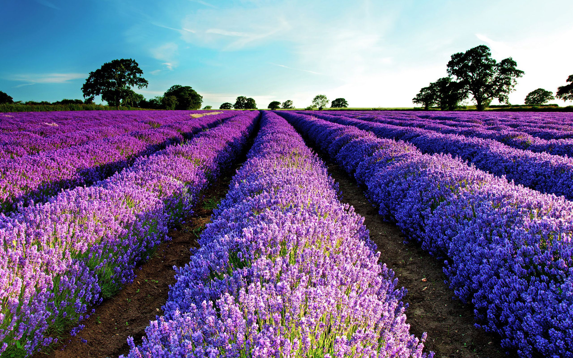 lavender-field-flower-hd-wallpaper-1920x1200-7957.jpg
