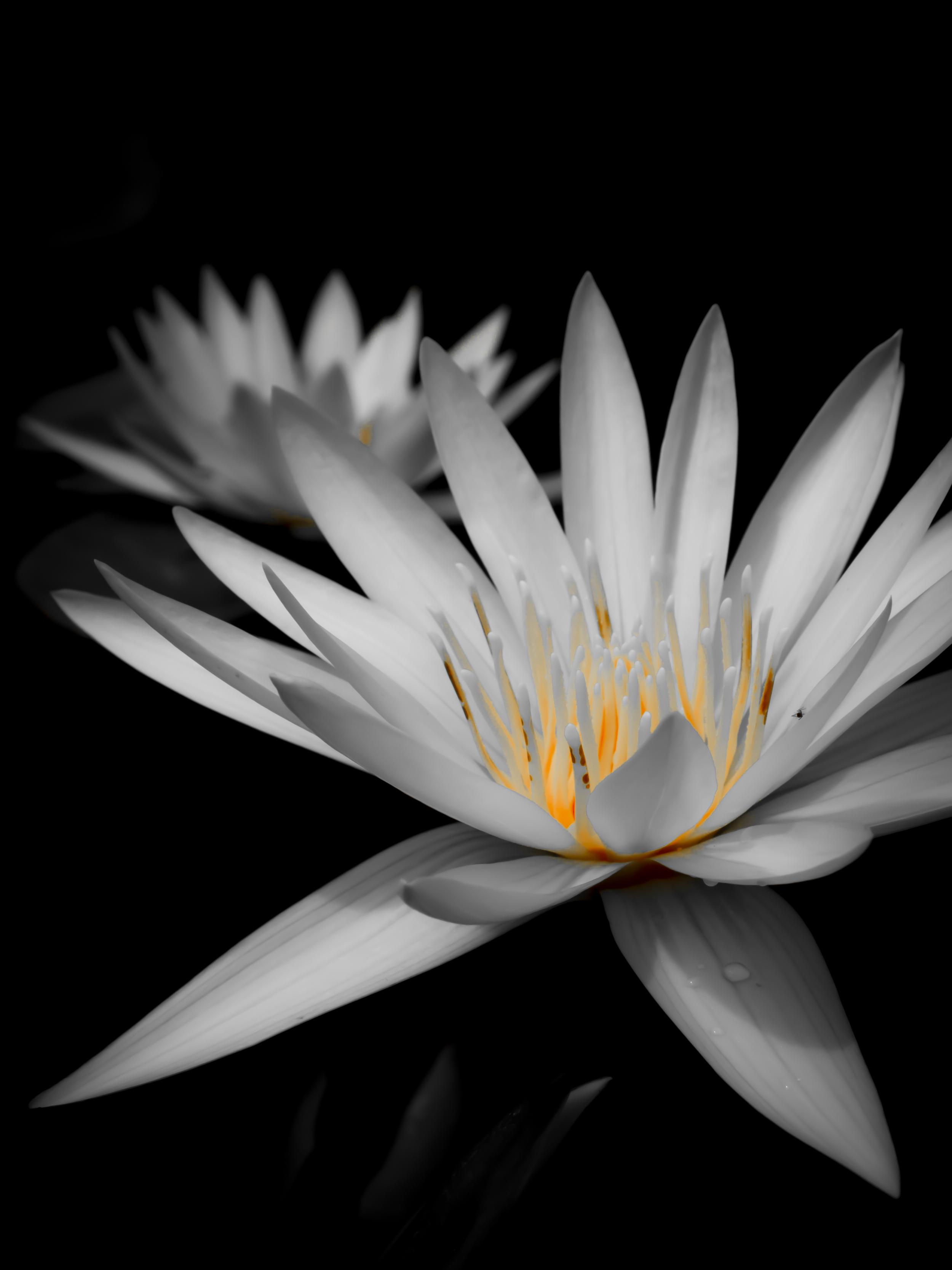 White Waterlilys B.JPG