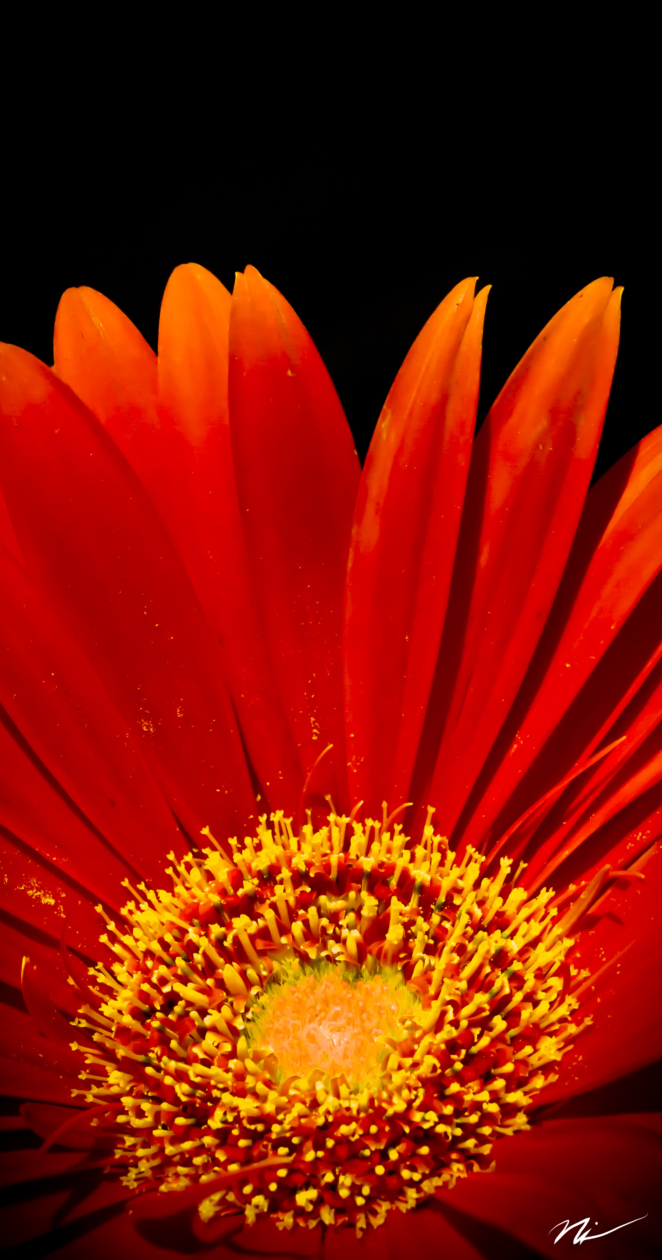 Red Gerbera Daisy.jpg