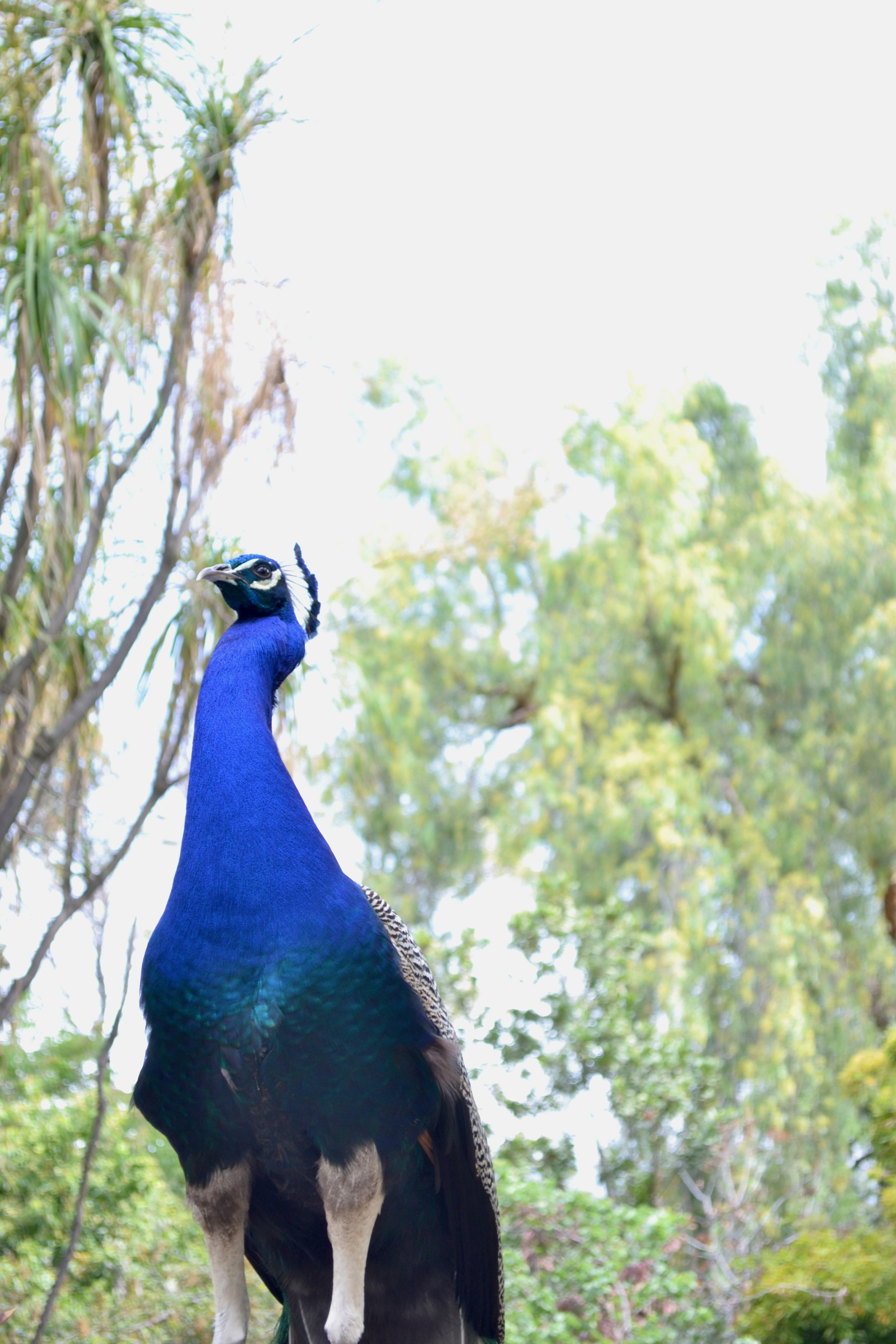 majestic peacock.jpeg