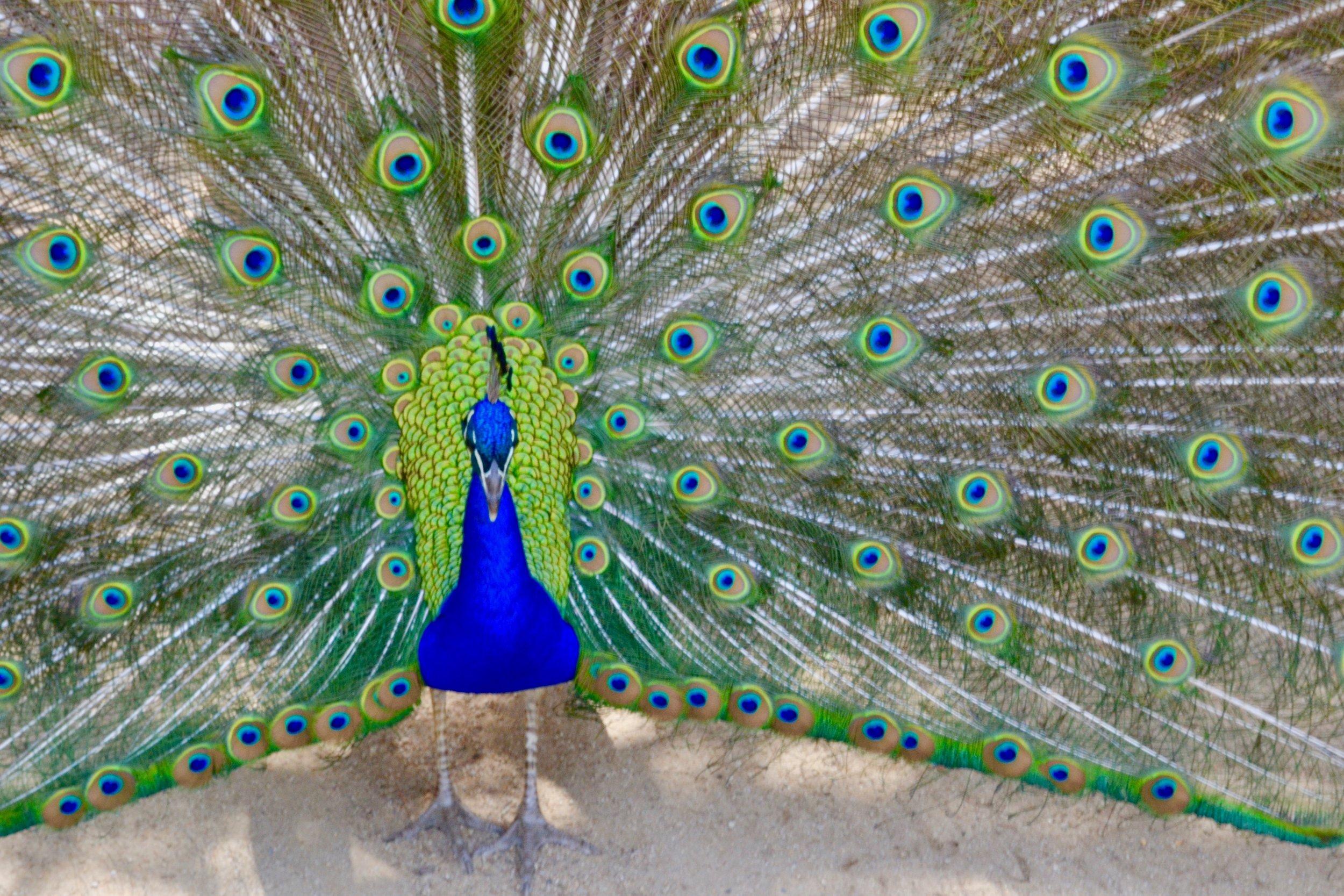 peacock close up.jpeg