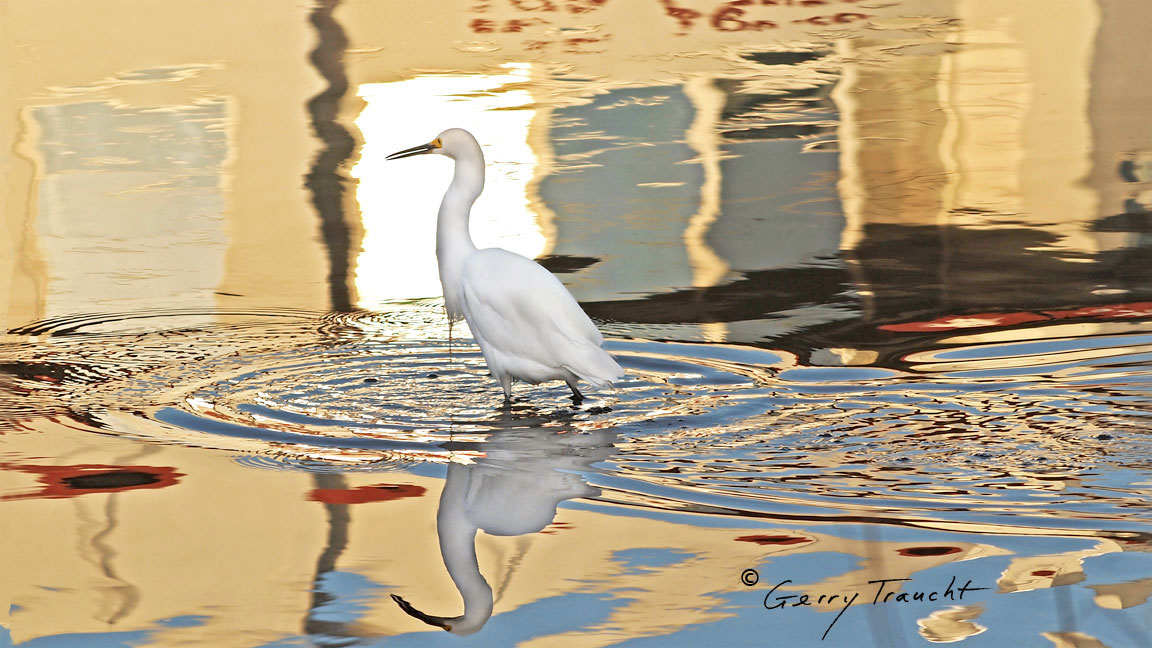 """On a rare and spectacular night, like the opening of an opera, the egret clears the water of other birds and steps into this mirage as it forms from what was, moments before, a simple reflection.   """"From the lagoon, an egret, accompanied by an ibis, approaches the windows of the city. Entering an inexplicable moment, seemingly time in a double ikat of light, they travel the eye of the labyrinth, each from the other side."""" - from Gerry Traucht's The Secret Lives of Egrets"""