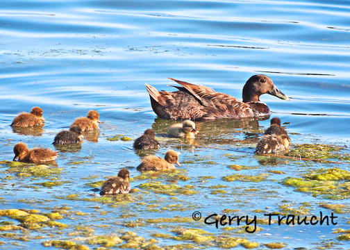 Gerry-Traucht-LagoonDucklings-.jpg