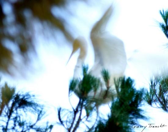 Gerry-Traucht_Ghost-Egret.jpg