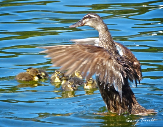 Late spring ducklings, seven surprises for Father's Day.