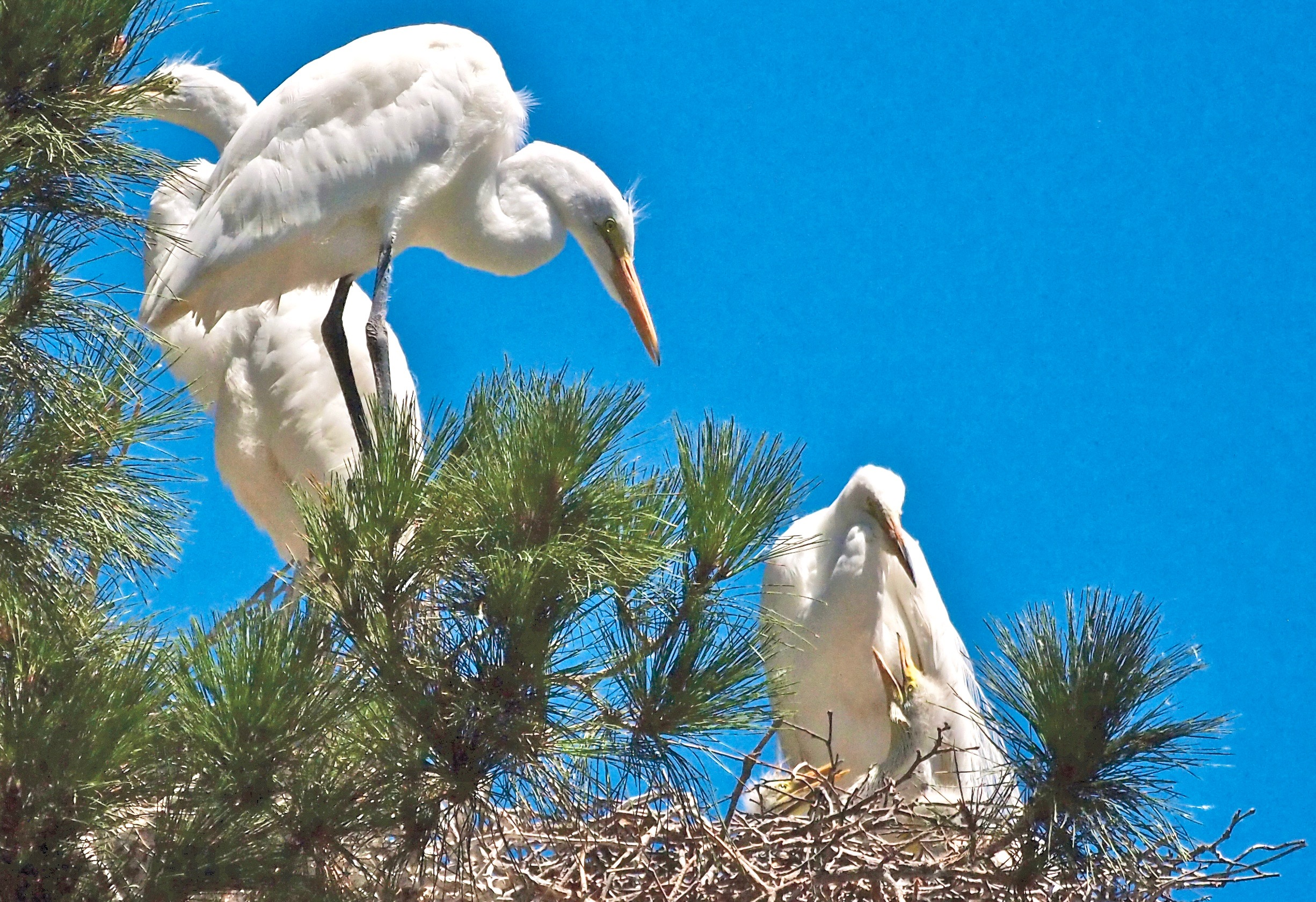 GREAT EGRET FAMILY  Intimate images stun with grace and beauty as pine needles disappear. In other years this view would be obstructed or hidden. Here, during this nationally celebrated Year Of The Bird, the view of the egret family seems especially sacred.