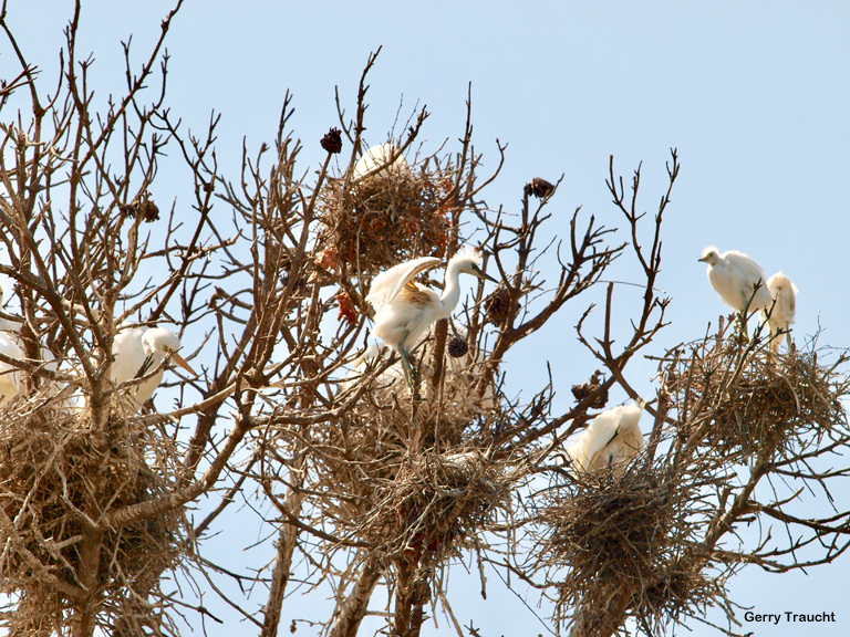 11. Egret life abounds in a dying rangy pine tree. By summer the pine's green needles have disappeared. Except for the nests and a few brown tufts, the tree is naked. The bonus for bird watcher and photographer is this abundant breeding season with clear views.  Photo 11: SIX NESTS