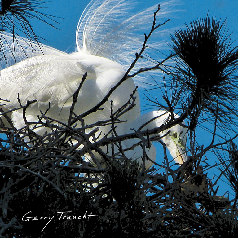 LIKE AN OPEN WINDOW INTO A SECRET  It is now September 2018 and the egrets are gone. Their Monterey pine is dead and scheduled for removal soon. The egrets will need a new tree.  The tree stands like a sculpture with its limbs holding empty nests. It gave us one last great, highly-visible breeding season. It gloriously finished its life cycle.  Once almost extinct for their feathers, egrets were slaughtered by the millions in their nesting colonies. These magnificent creatures had a bounty placed on their feathers for the wildly popular fashion trend in hats decorated with feathers, nests, eggs, wings and whole birds. An ounce of feathers surpassed the value of an ounce of gold. This slaughter awakened citizens from all walks of life. In 1918 landmark national protection was passed: the Migratory Bird Protection Act. Its centenary is celebrated this year, 2018.  In the spring the egrets will return. The tree will be gone. They may or may not pick a new tree, here, at the calm hub of the bustling Bay Area. The nests may be retrieved and moved to help lure the egrets to a new nearby tree. Stay tuned for news and updates.    Gerry Traucht lives in Berkeley, photographer of animals and birds. See his Instagram for current updates on the Alameda Egret Tree,   www.instagram.com/gerrytraucht   Visit  www.gerrytraucht.com  for his exhibit the  Egrets In Our Midst    •••