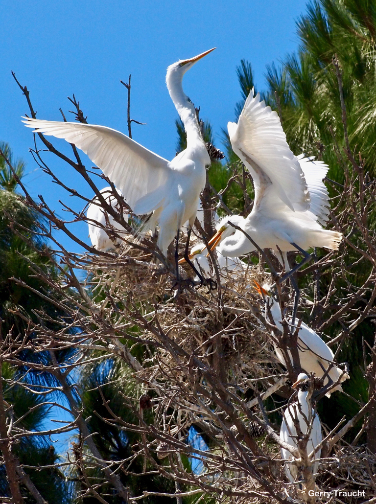 10.  Now they are fledglings, as large as their parents.In the family nest, the young egrets experience quick changes between harmony and raucous battles while stretching their wings and learning to fly.