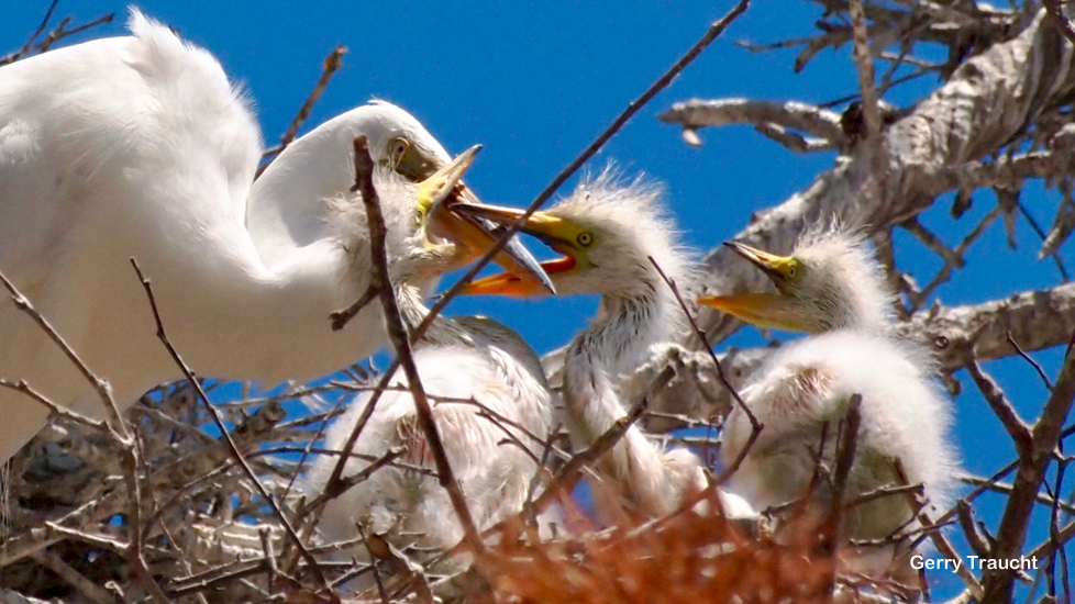 9.  Now the egret chicks are rapidly growing. Soon they will become as large as their parents.  In the family nest, the young egrets experience quick changes between harmony and raucous battles while stretching their wings and learning to fly.