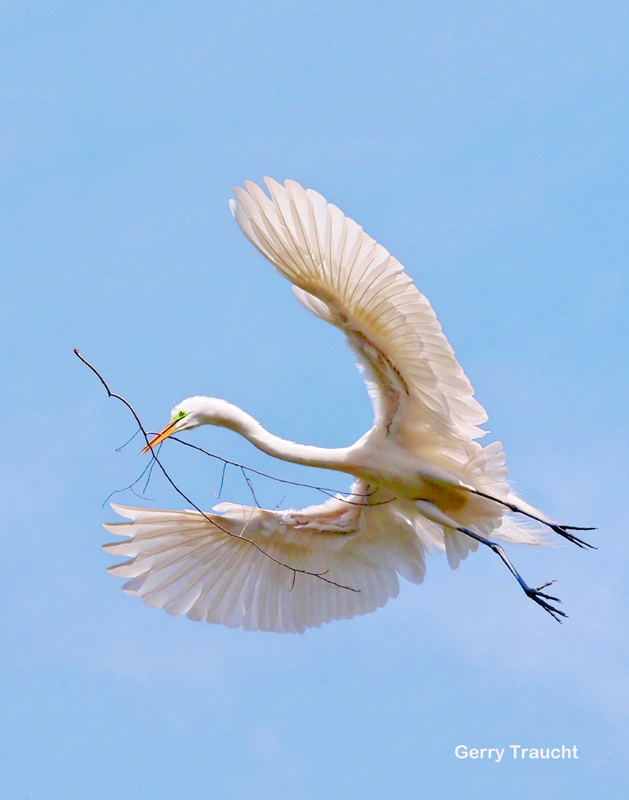 6. The great egret brings a gift of a branch to woo his mate and repair their nest.