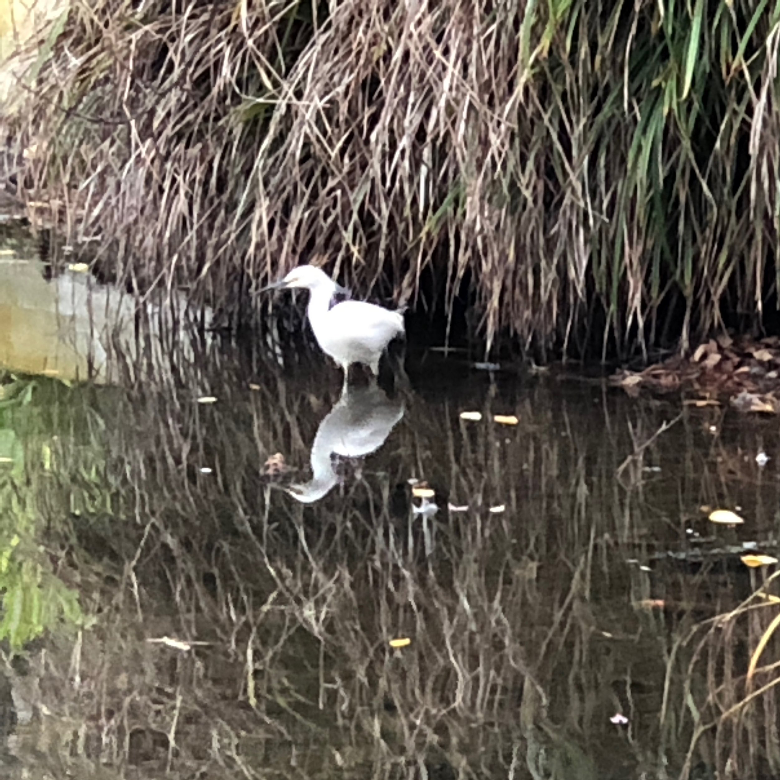 By December 2018 the egret nesting tree that had been an inspiring wonder and celebrated for decades had died and was cut down. On December 21, 2018, a snowy egret that didn't migrate wades the shoreline where the rangy Monterey pine that hosted the egret colony had once leaned over the lagoon.