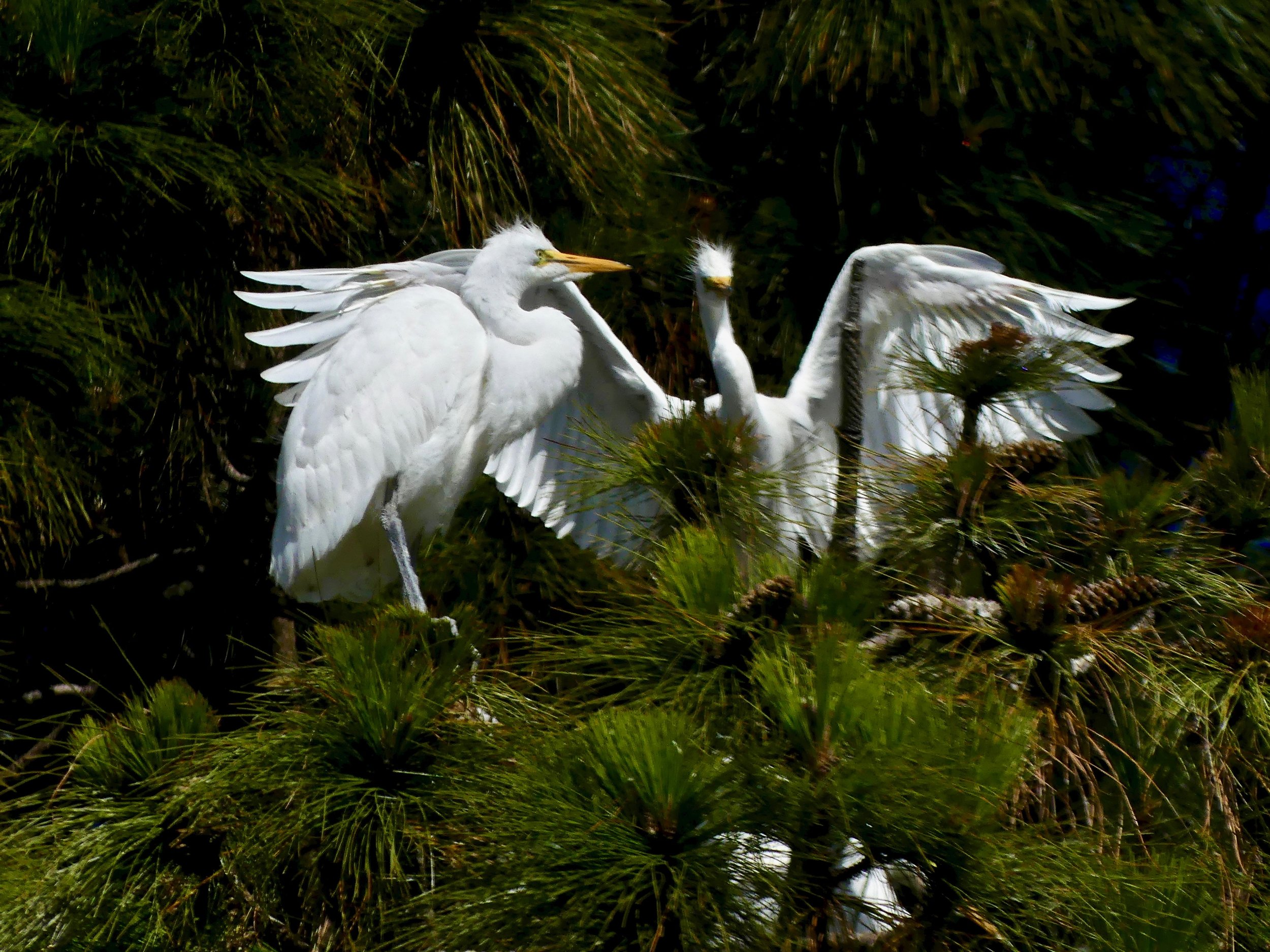 Great Egret watching its fledgling test its wings.