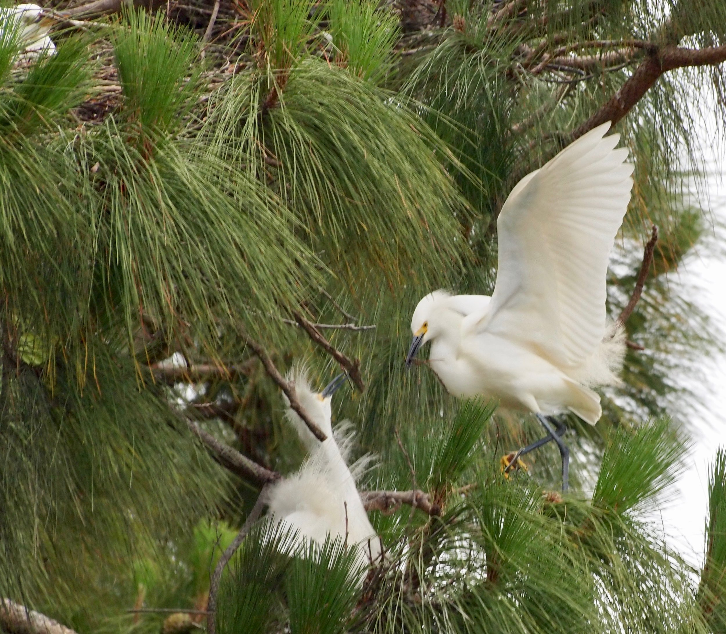 Snowy egret nest and at upper left is a neighboring nest.