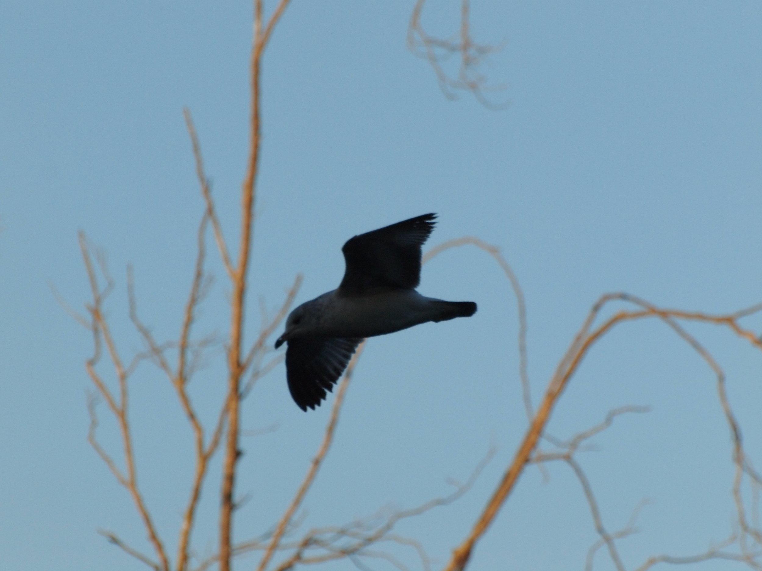seagull_P3163804.jpg