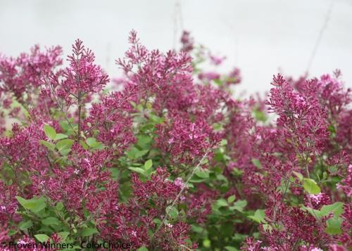 bloomerang_dark_purple_syringa-3.jpg