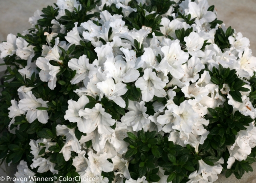 bloomathonazalea.jpg