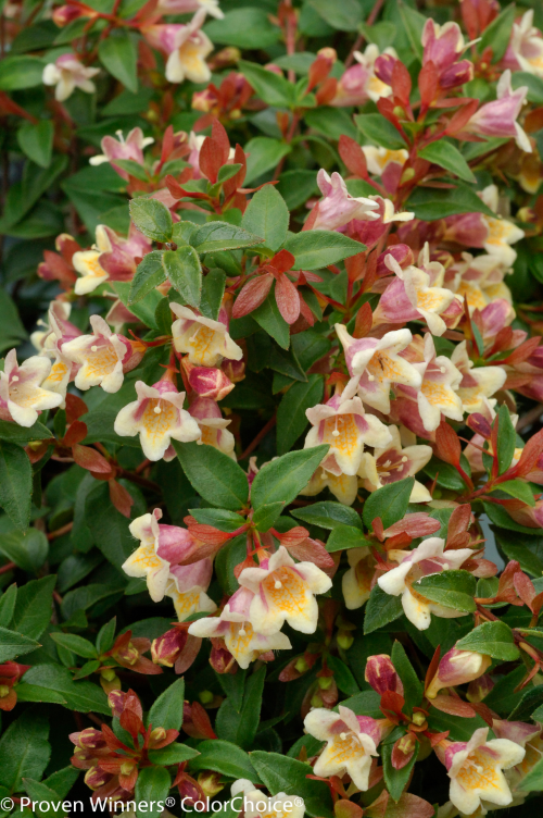 Height 3 - 4'    Spacing 3 - 4'    Exposure Plant in sun or partial shade    Hardy Temp -10°F (-23°C)    Uses Mixed borders, foundation plantings.    Features Yellow flowers. Reblooms. Deer-resistant.    Soil Prefers moist, well-drained soils.    Type Deciduous    Bloomtime Summer    Flower Color Yellow    Zone 6 - 9