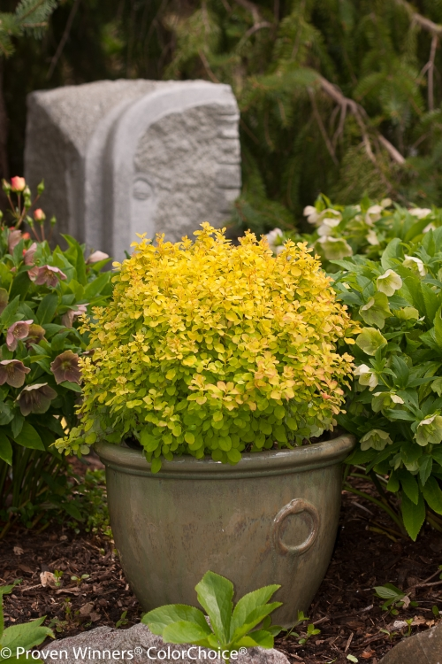 Height 0.5 - 1'    Spacing 1.5 - 2'    Exposure Full sun    Hardy Temp -30°F (-34°C)    Features Dwarf, low mounding golden barberry with red fall color. .    Soil Prefers well drained soils.    Pruning Little needed. May be shaped in summer.    Type Deciduous    Foliage Color Yellow    Zone 4 - 8