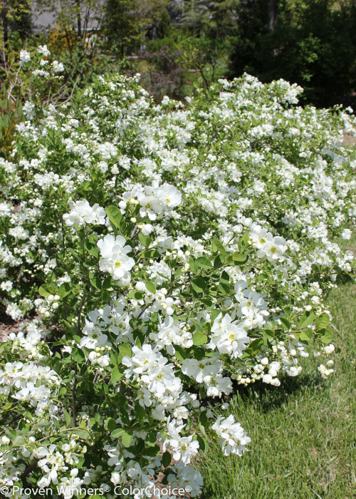 Height  5 - 6'   Spacing  6 - 7'   Exposure  Full sun)   Features  White spring flowers. A traditional favorite for beds and borders. Easy to grow.   Soil  Prefers acidic soil but is adaptable   Type  Deciduous   Bloomtime  Spring   Zone  4 - 9