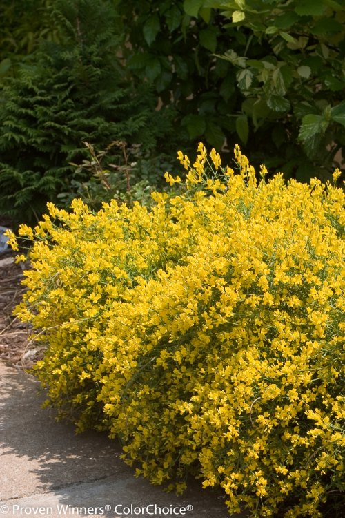 Height  1 - 2'   Spacing  2 - 2'   Exposure  Full sun   Features  Electric yellow flowers in late spring. Great en masse for the spring garden. Excellent texture. Deer resistant. Drought and heat tolerant.   Soil  Prefers well-drained soils. Needs good drainage.   Type  Deciduous   Bloomtime  Spring   Zone  4 - 9