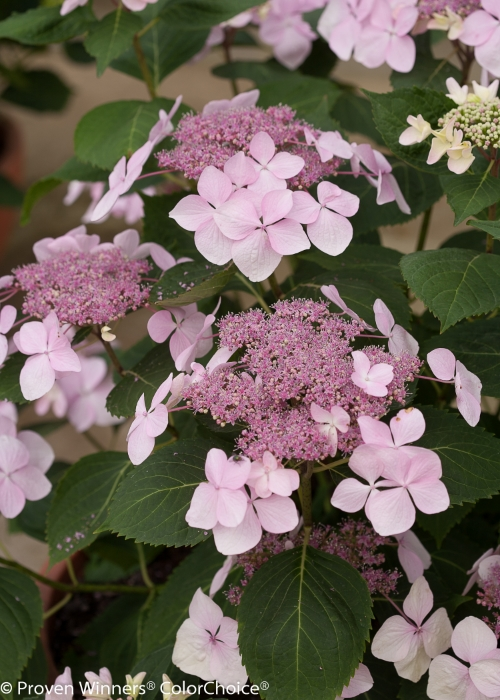 Height  3 - 4'   Spacing  3 - 4'   Exposure  Plant in sun or partial shade   Hardy Temp  -20°F (-28°C)   Uses  Mixed borders, foundation plantings.   Features  Large pink or blue summer flowers. Rebloomer.   Soil  Prefers moist, well-drained soils.   Pruning  Prune after early summer flowering.   Type  Deciduous   Bloomtime  Summer   Flower Color  Pink   Foliage Color  Green   Zone  5 - 9