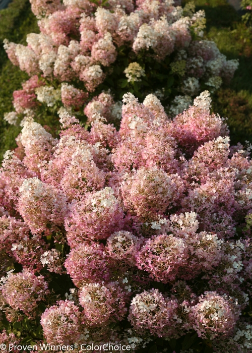 Height  2.5 - 3'   Spacing  4 - 5'   Exposure  Sun or partial sun   Hardy Temp  -40°F (-40°C)   Uses  Excellent as part of mixed borders, or as a foundation plant. It can also be a showy specimen plant, or grown in a container.   Features  Abundant white summer flowers. Blooms every year. Hardy. Soil pH does not affect bloom color.   Soil  Adaptable to most well-drained soils. Bloom color is not affected by soil pH.   Pruning  Prune back in late winter/early spring.   Type  Deciduous   Bloomtime  Summer   Flower Color  White   Foliage Color  Green   Zone  3 - 8   Awards  Gold Florall