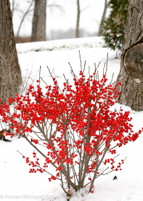 Height  3 - 4'   Spacing  3 - 5'   Exposure  Plant in sun or partial shade   Hardy Temp  -40°F (-40°C)   Uses  Hedges, cutting gardens, mixed borders   Features  Native. Red fall fruit. Good for cuts. Compact.   Soil  Moist to damp soils.   Pruning  Prune in late winter/early spring.   Type  Deciduous   Bloomtime  Early summer   Flower Color  White   Foliage Color  Green   Zone  3 - 8