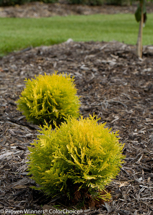 Height  0.8 - 1.3'   Spacing  0.8 - 1.5'   Exposure  Plant in sun or partial shade   Hardy Temp  -40°F (-40°C)   Uses  Borders; foundation plantings; accent plant   Features  Evergreen. Dwarf. Yellow foliage.   Soil  Prefers deep, well drained soils.   Pruning  May be trimmed in early summer.   Type  Evergreen   Bloomtime  N/a   Flower Color  None   Foliage Color  Yellow   Zone  3 - 7