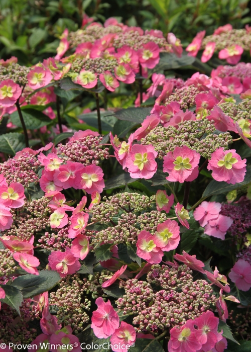 Height  2 - 3'   Spacing  2 - 4'   Exposure  Sun or partial sun   Hardy Temp  -20°F (-28°C)   Uses  Mixed borders; foundation plantings.   Features  Very hardy reblooming hydrangea. Lacy pink or blueflowers.   Soil  Prefers moist, well drained soils. Flower color is affected by soil pH.   Pruning  Prune to shape after flowering.   Type  Deciduous   Bloomtime  Summer   Flower Color  Pink   Foliage Color  Green   Zone  5 - 9   Awards  2012 Gold Medal Plantarium