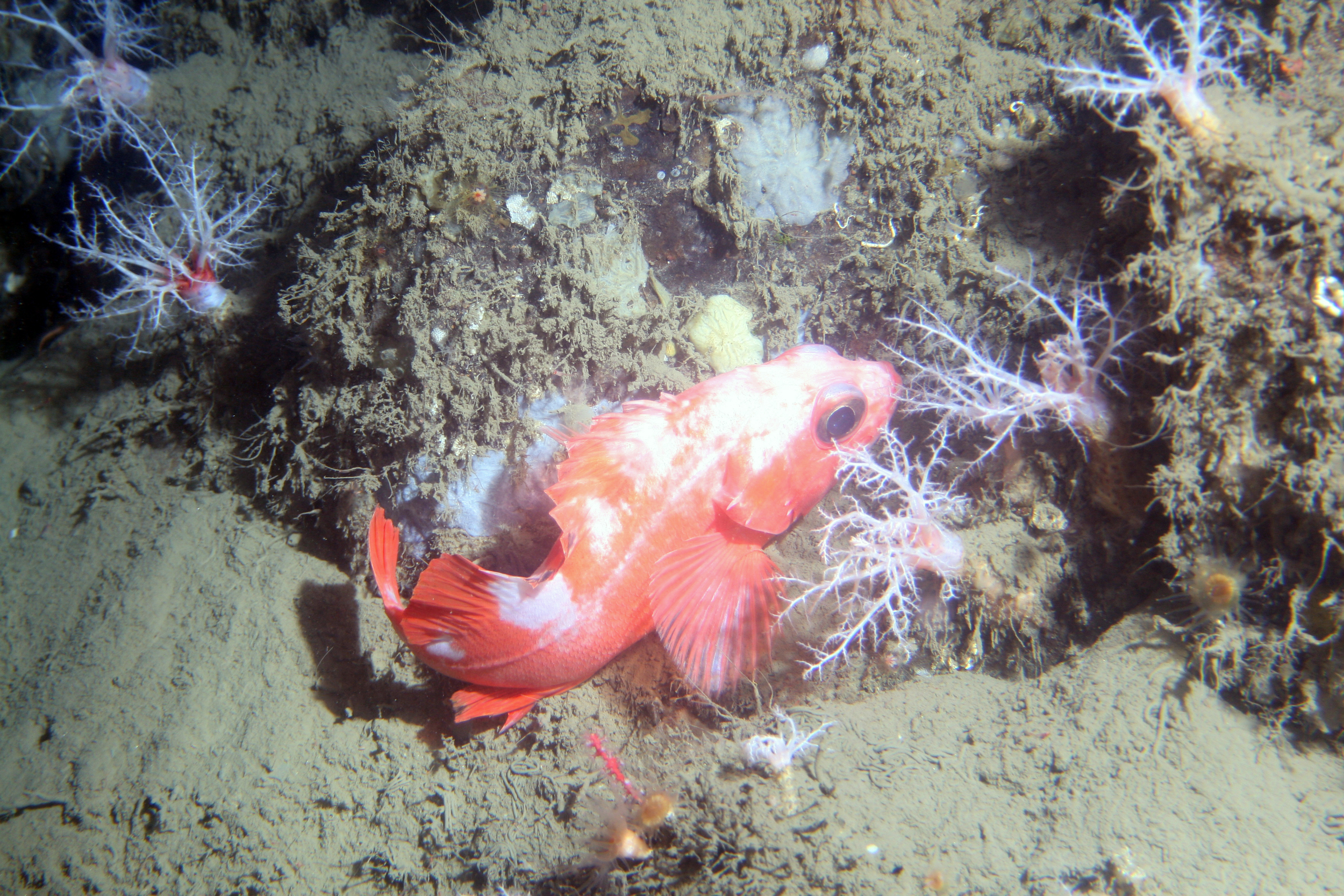 Rockfish and sea cucumbers off Point Lobos at 150m