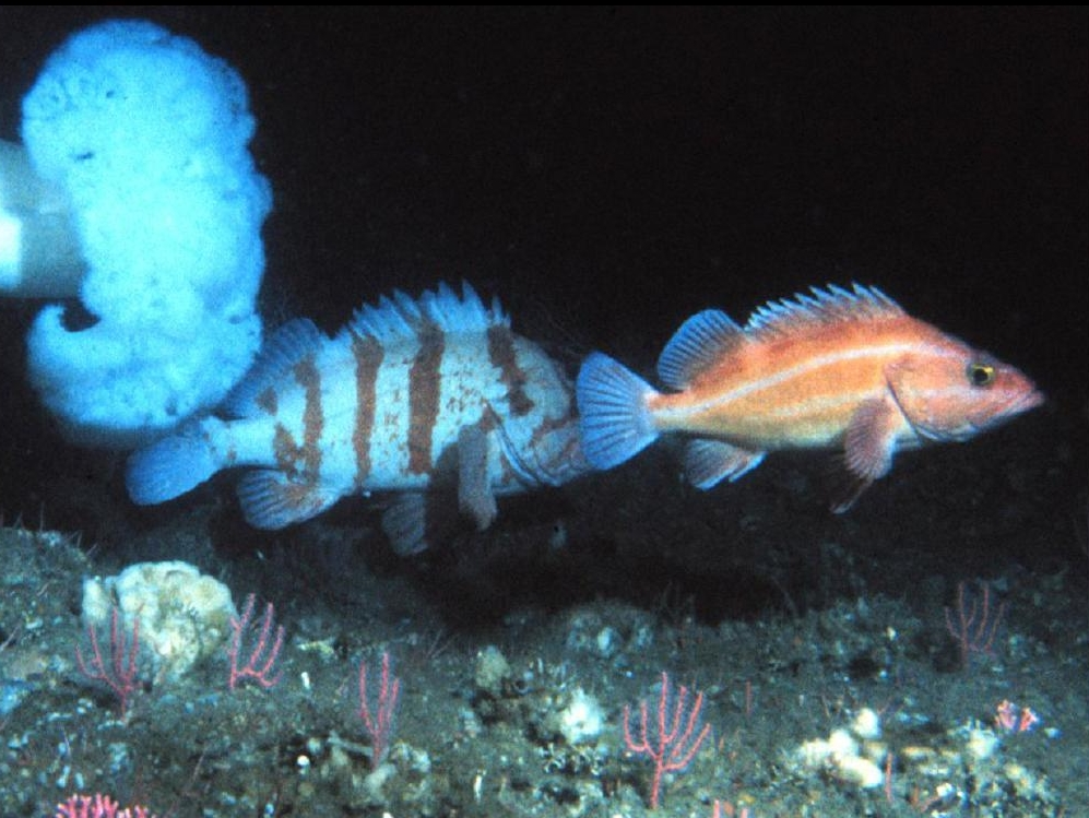 Rockfish on Heceta Bank, Oregon. Photos: Mark Hixon