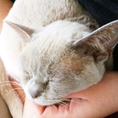 peanut burmese cat