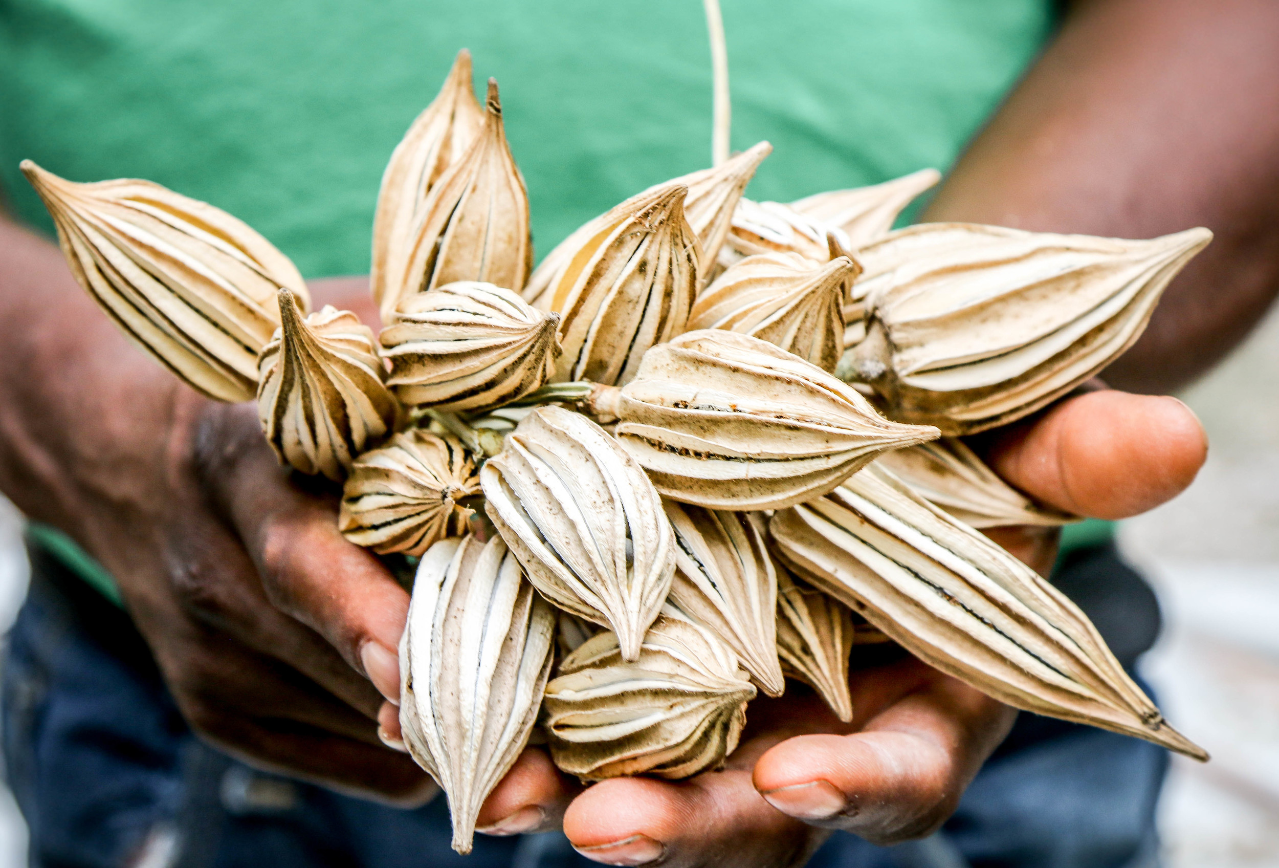 Okra seeds, dried and stored from last year's harvest. The seeds were produced (and held in this picture) by Jean Veny Normil.