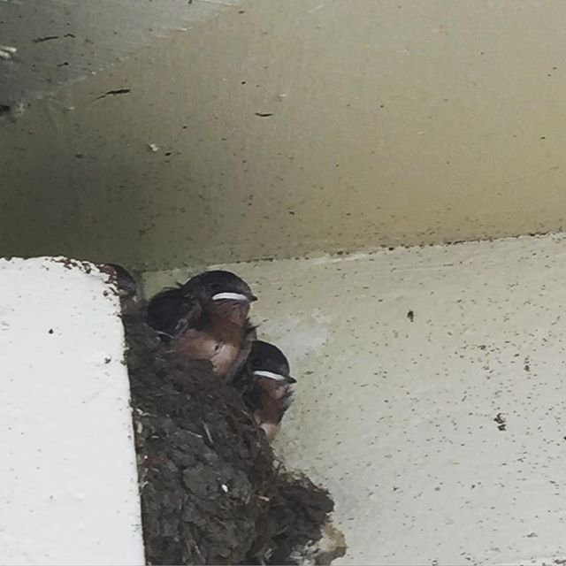 barn swallow babes waiting for mom. #nest #naturehoodwatch