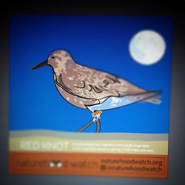 work in progress... do you know your local (and amazing!) birds? Meet #B95 who is a real superstar!