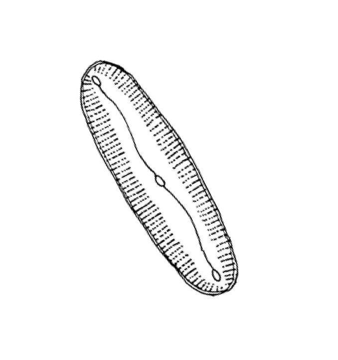 marine-diatom-sketch.jpg