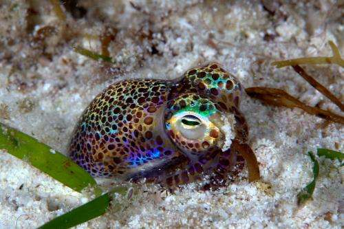 The bobtail squid and bioluminscent bacteria are just one of hundreds of examples of mutualism