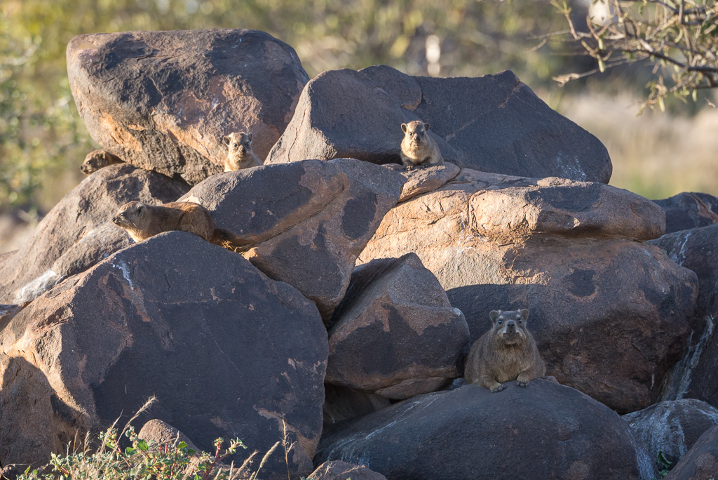 Dassies at the Quiver Tree Forest