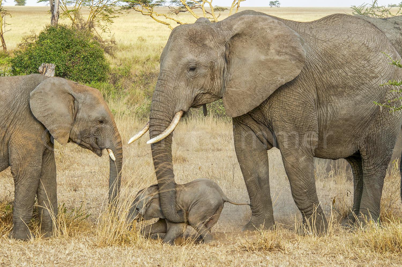 Elephant family -Mbuzi Mawe, Tanzania