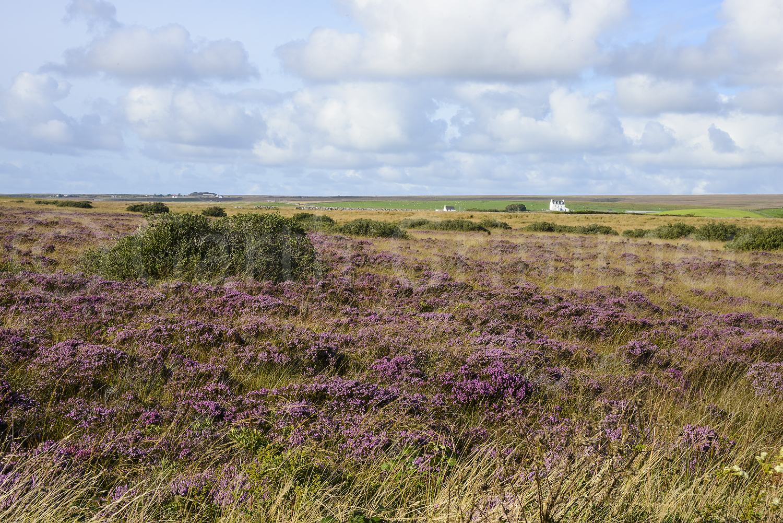Field of heather, Islay