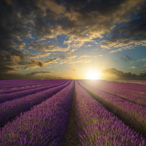 Vibrant Summer sunset over lavender field landscape