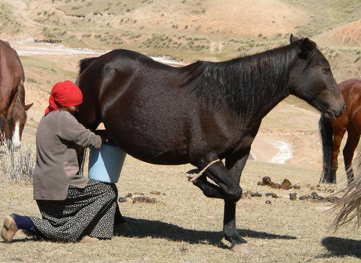 Central Asian nomads' specialty is fermented horse milk (kumys).