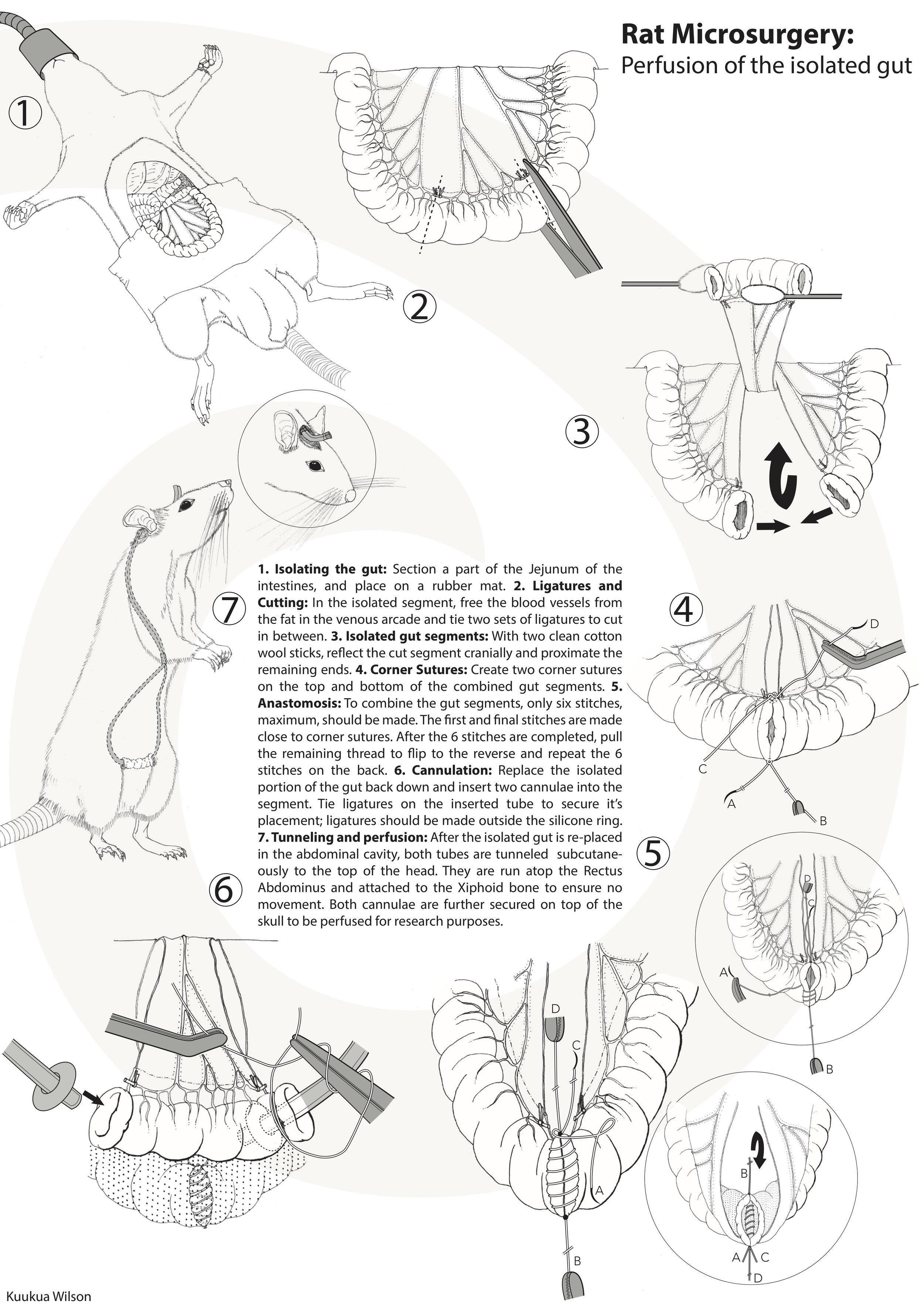 C3_Rat Microsurgery_kuukua_FINAL.jpg