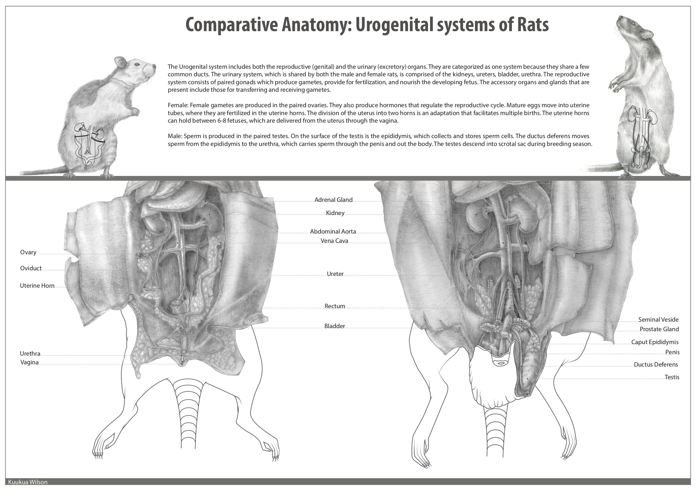 B3b_Rat Dissection_Kuukua Wilson.jpg
