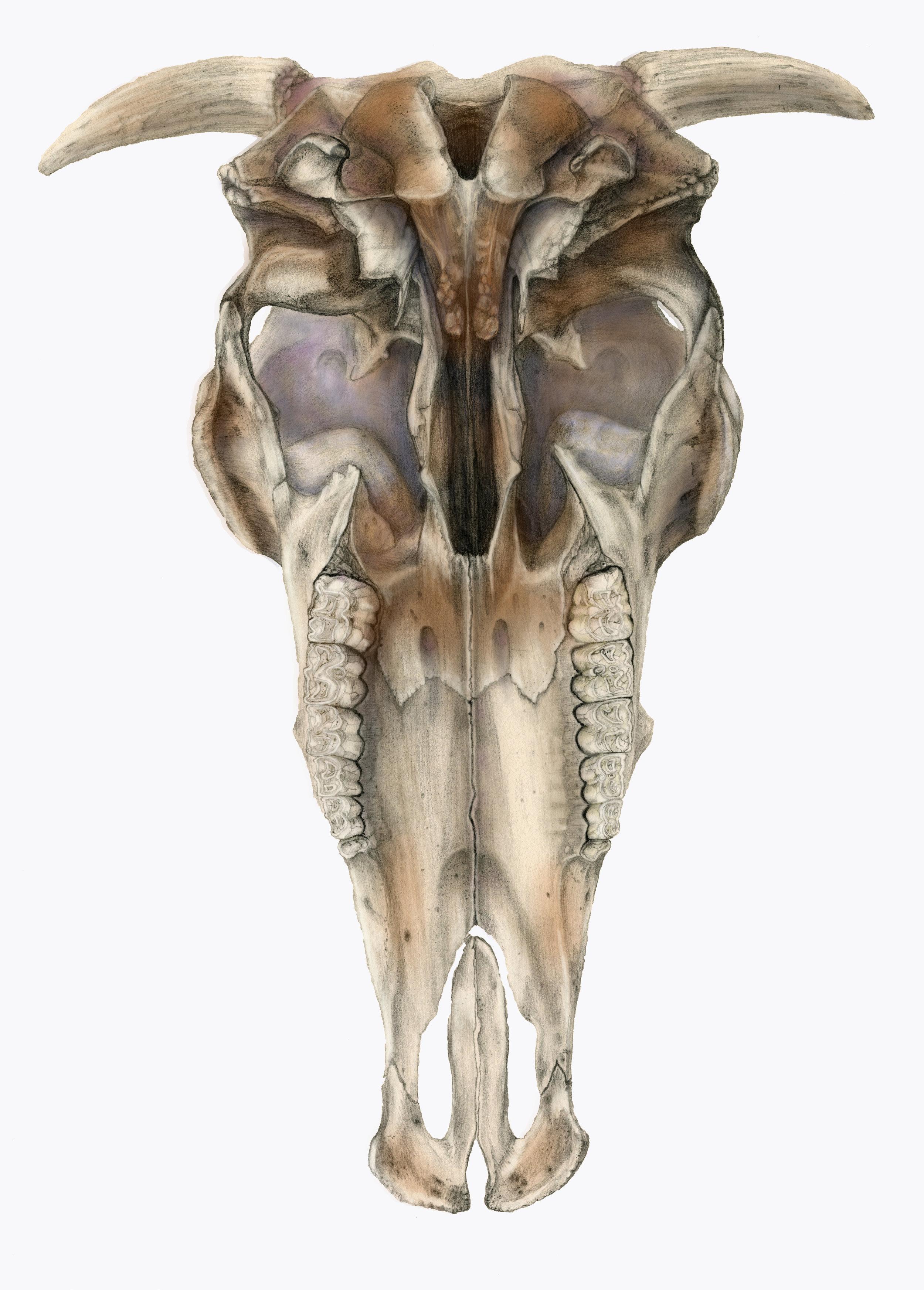 colorized_bull skull_.jpg